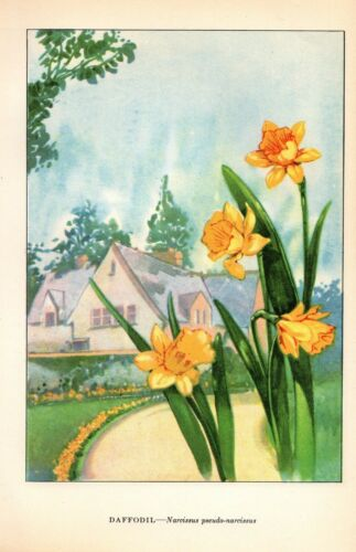 "1926 Vintage GARDEN FLOWER /""DAFFODIL/"" GORGEOUS COLOR Art Print Lithograph"