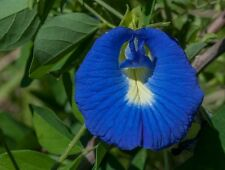 Clitoria terneata - Blue Butterfly Pea - 10 Seeds
