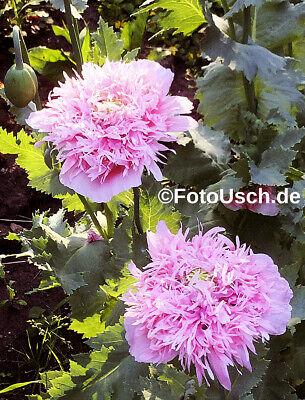 100 Samen Gefüllter Mohn Pink Eine GroßE Auswahl An Farben Und Designs