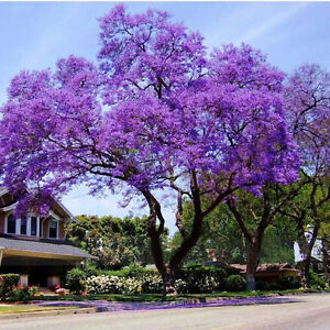 Royal-Empress-Tree-Paulownia-tomentosa-1-live-plant-1-year-old-sent-with-soil