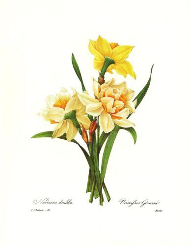 1991 Vintage REDOUTE FLOWER #82 DOUBLE NARCISSUS Color Art Print Lithograph