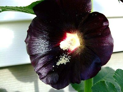 30 BLACK HOLLYHOCK SEEDS Alcea rosea