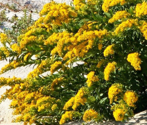 CANADA GOLDENROD Solidago Canadensis 5,000 Bulk Seeds
