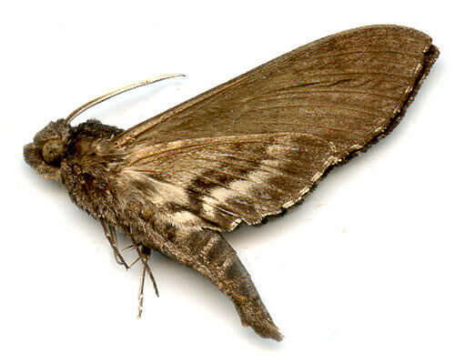 Moth - Sphingidae  -  Sphinx maura  -  Argentina     Male