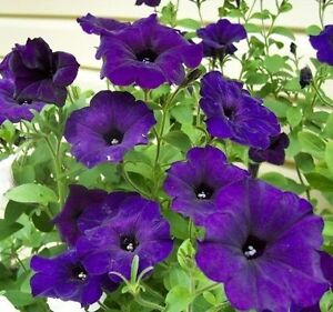 Flower Seeds Petunia Duo blue F1 from Ukraine
