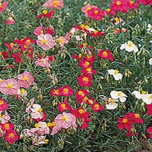 100 seeds Rock Rose Helianthemum Mutabile Mix