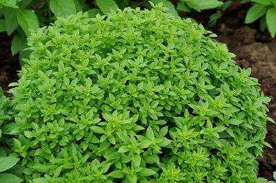 Indoor Basil Dwarfish Greek Heirloom Herb Seed