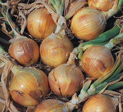 Vegetable - Onion - Bedfordshire Champion - 200 Seeds - Economy