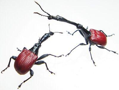 ATTELABIDAE Trachelophorus giraffa Pair 20mm+ ....!! Madagascar Insect