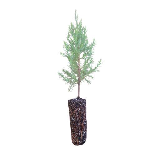 Eastern RedcedarMedium Tree SeedlingThe Jonsteen Company
