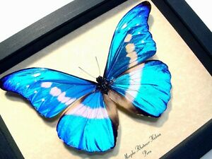 REAL FRAMED BUTTERFLY BLUE WHITE MORPHO RHETENOR HELENA MALE
