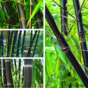 Pianta bambu gigante nero black piantina bamboo for Bambu pianta