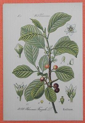 Faulbaum Frangula Alnus Lithographie 1885 Schießbeere Pulverholz