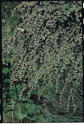 Herb - White Horehound - Marrubium Vulgare - 500 Seeds