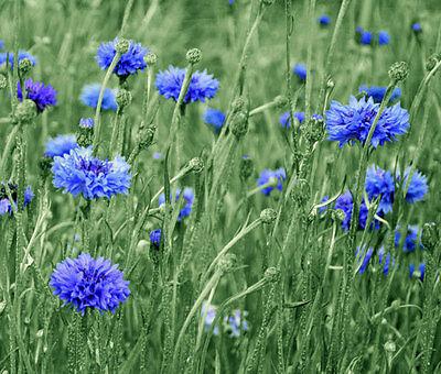 FLOWER AGERATUM BLUE MINK 5000 FINEST FLOWER SEEDS