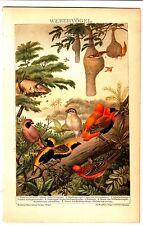 1894 WEAVER BIRDS NATURAL HISTORY ANTIQUE CHROMOLITHOGRAPH PRINT