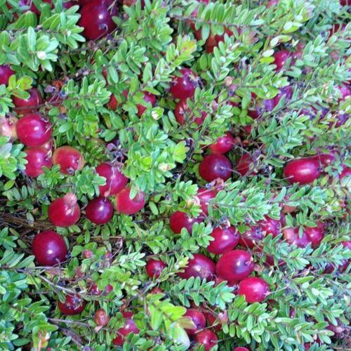 Seeds for CranberryVaccinium macrocarponAmkha Seed