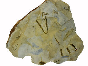 Fossil-Graptolite-Spring-Gully-Bendigo-Area-Victoria-Australia-EA6986