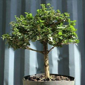 Premna Pre Bonsai Tree By The Bonsai Supply Ebay