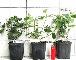Garrya-elliptica-034-James-Roof-034-Becherkaetzchen-seltene-Pflanze