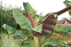 10-graines-de-bananier-Musa-Helen-039-s-Hybrid-rustique-hardy-banana-seeds