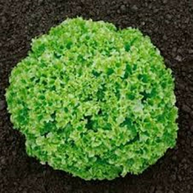 Leaf Lettuce Hrin Koral - Open Pollinated -  Vegetable Seeds - NON GMO