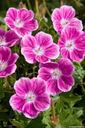 Hardy Geranium-Essential Cottage Garden Collection Seed Mix Free p/&p