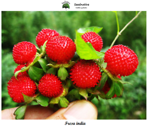 Fresa india seeds 200 semillas Mock Strawberry Potentilla indica
