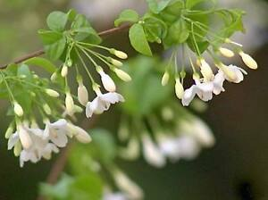 Wrightia religiosa Echites religiosa Single Flower 20 seed ...