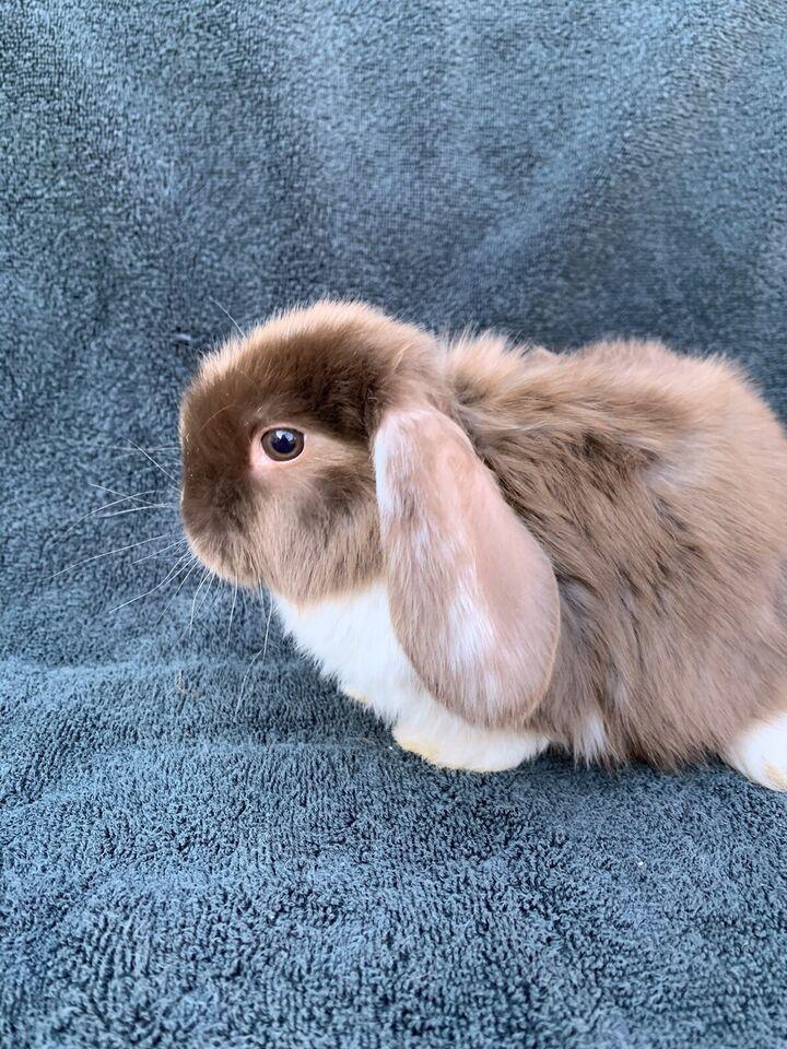 Kanin, Ægte dværgvædder satin, 0 år