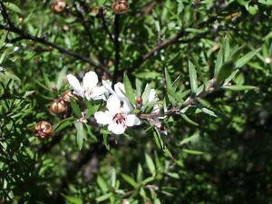 500-echte-Leptospermum-scoparium-Samen-Suedseemyrte-Manuka-Neuseelandmyrte
