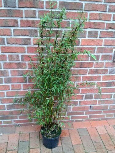 jadebambus hauteur: 110-120 cm Fargesia jiuzhaigou 2 Rouge bambou engrais!!!
