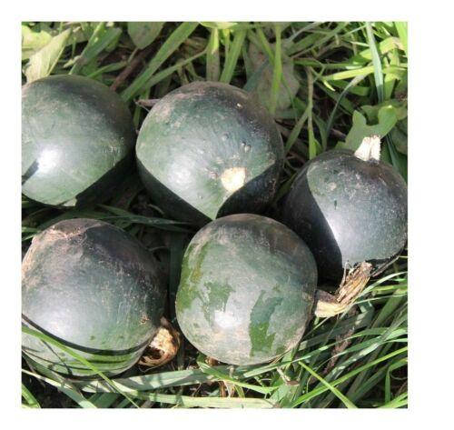 12 Semi FINALE Premier Seeds Direct Squash-Little Gem