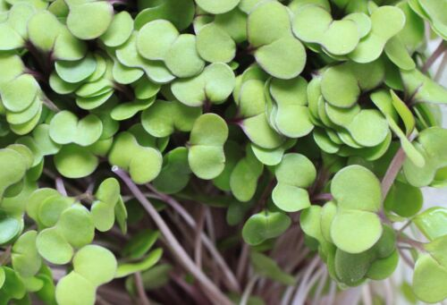 Non-GMO Microgreens Red Salad Bowl Seeds Sprouting 10,000