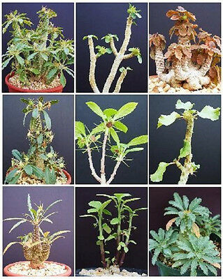 DORSTENIA VARIETY MIX, exotic rare pachycaul cactus caudex bonsai seed 10 SEEDS