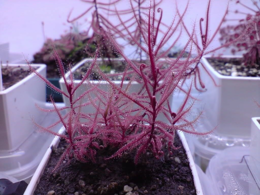 Drosera Serpens ~ Carnivorous Indica Complex ~ Red Plant Violet Flower ~ 5 Seeds