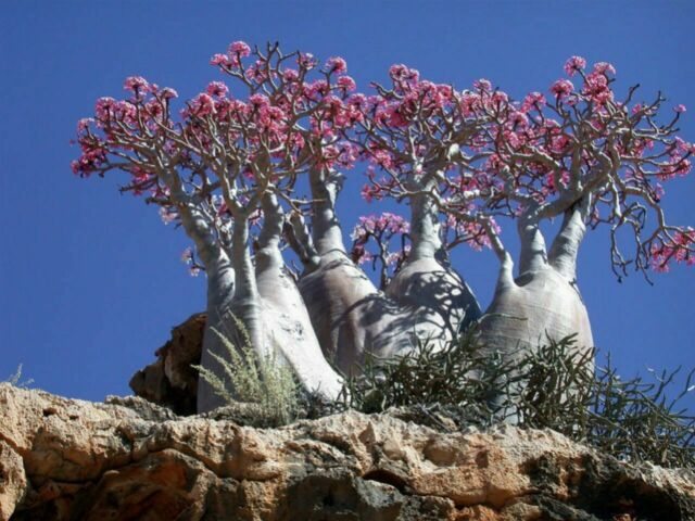 50 Adenium socotranum seeds 100/% new and high quality Professional Packing