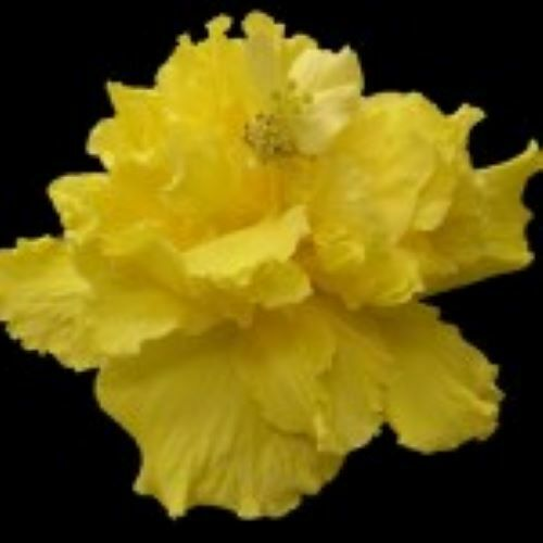 **SAFFRON MOON** Rooted Tropical Hibiscus Plant**Ships Bare Root***