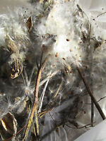 6 Actual Natural True Michigan Milkweed Stems Pods W/seeds Air Dried