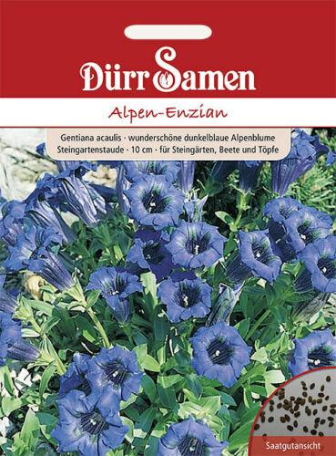 mehrjährig Alpen-Enzian 10cm Dürr Samen
