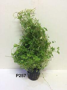 Exotic Live Aquatic Plant Hydrocotyle tripartita Potted P257