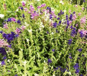 """(340 A) """"Kings's Premier Qualité herbe Sauge Peint 800 graines jardin-afficher le titre d`origine IXLZdlqZ-07204505-514954279"""