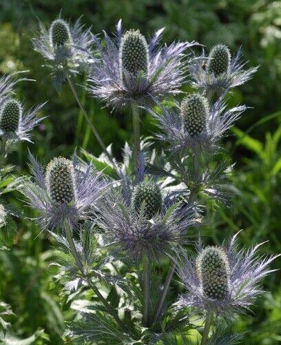 30 Samen Eryngium alpinum Seedeo® Alpendistel Blue Star