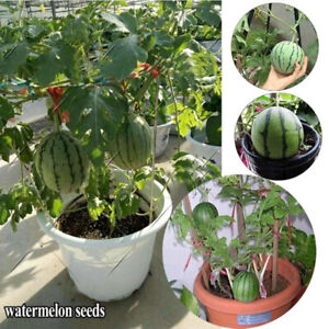 HD-KQ-20Pcs-Mini-Watermelon-Seeds-Sweet-Organic-Fruit-Garden-Yard-Farm-Bonsai
