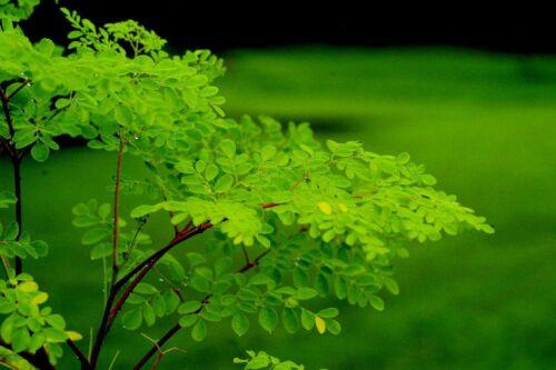 Drumstick Tree 10 seeds moringa oleifera