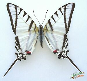 Protesilaus-helios-real-RARE-butterfly-A1-Argentina-entomology-Set-x1-insect