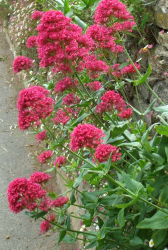 3x Centranthus ruber Coccineus Valerian Hardy Perennial Bee plants 9cm pots