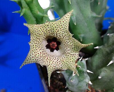 Phyto available 2 unrooted stem zebrina Huernia zebrina v