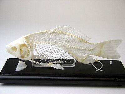 Lizard Skeleton Articulated Bone Specimen Wood Base Acrylic Cover Educational