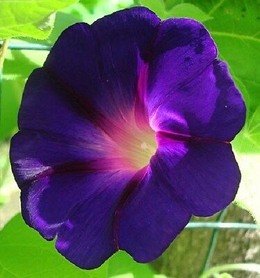 20+ STAR OF YELTA MORNING GLORY FLOWER SEEDS / IPOMOEA / SELF-SEEDING ANNUAL